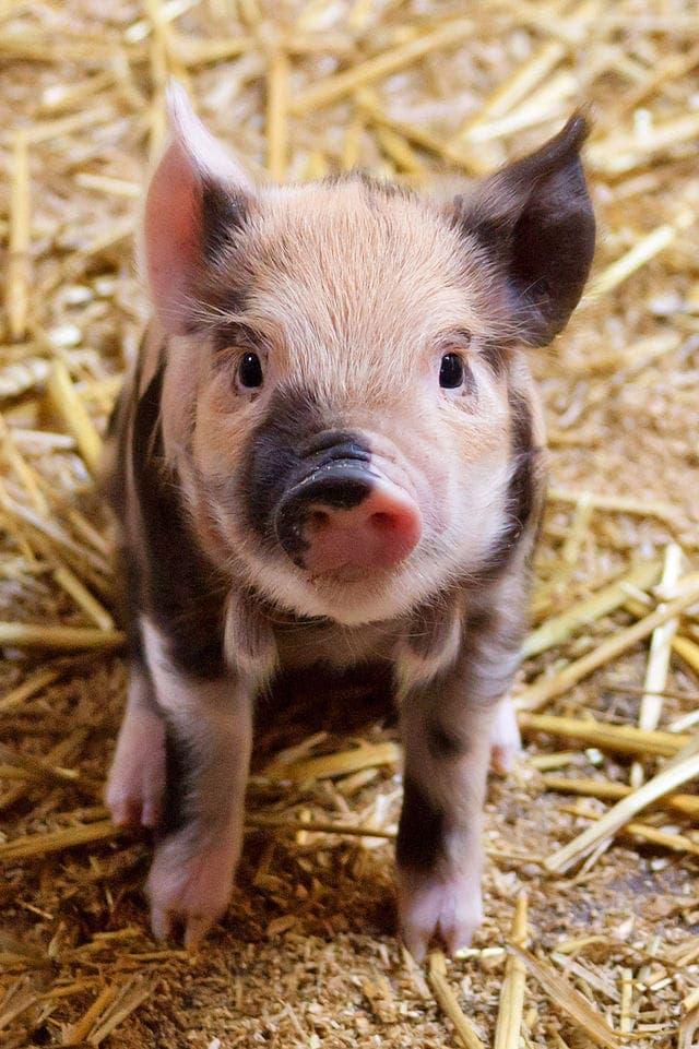 Cute_Piglet